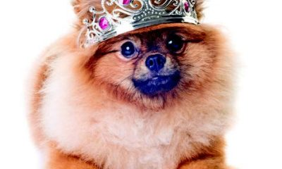 a typical toy dog  the pomeranian