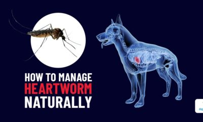 diy heartworm treatment for dogs