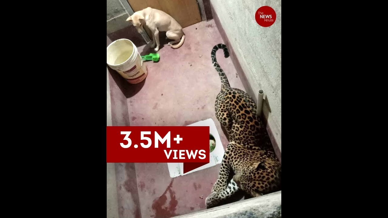 dog trapped with leopard inside toilet in karnataka for at