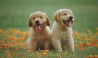 funniest & cutest golden retriever puppies #6 funny puppy