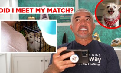 how i trained an aggressive chihuahua! (reacting to has cesar