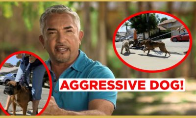 how to calm an aggressive dog! cesar911 shorts