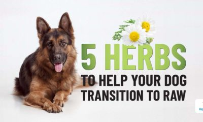 your dog's transition to raw food: 5 herbs that help