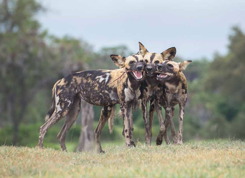 africa's wild dogs, a survival story