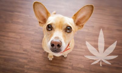 can cbd soothe anxious dogs?