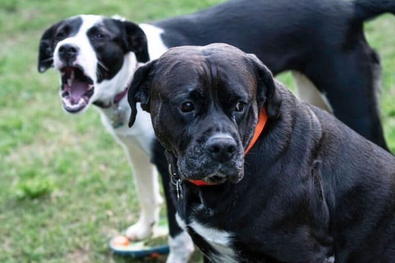 can you socialize an older dog?