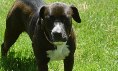 considering a pit bull lab mix? everything you need to