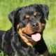 rottweiler dogster