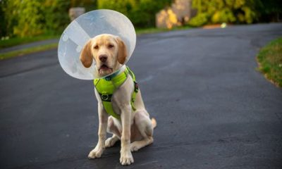 when to neuter a dog dogster