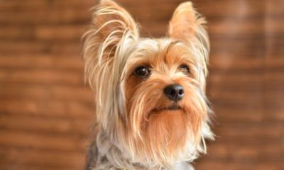 yorkshire terrier dogster