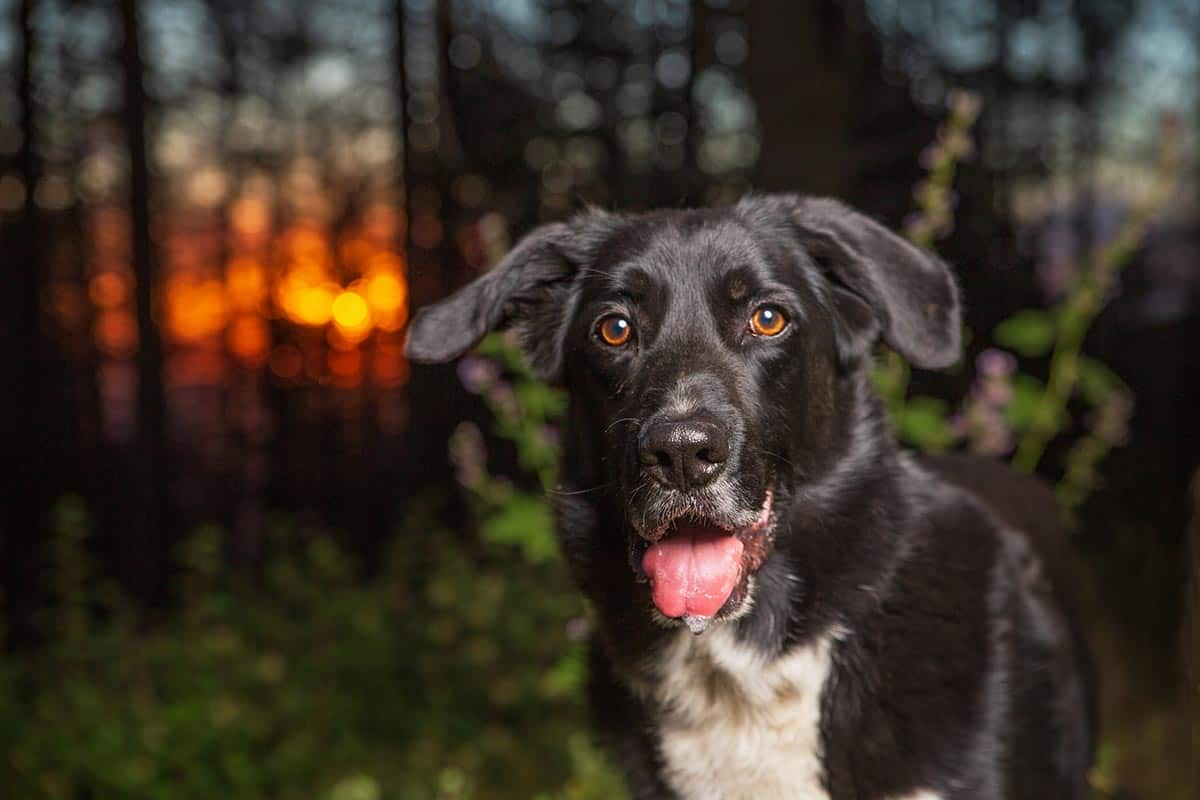 border collie lab mix your ultimate guide to the