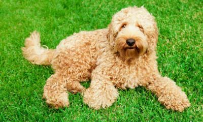 labradoodle resources near you and how they work