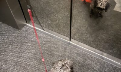 teach your dog to ride an elevator dogster