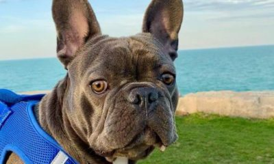 blue frenchie wins america's favorite animal 2021 dogster
