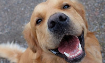 here are 10 fascinating facts about the adorable golden retriever